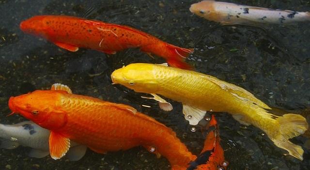 Karpers In Tuin : Koi de koning der vissen tijd voor je tuin